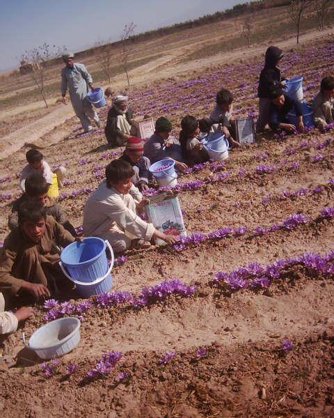 Kinderen plukken safraan in Herat. Foto: Lou Cuypers, via Marten de Boer. Meer foto's van Marten vind je via  het instagramaccount.