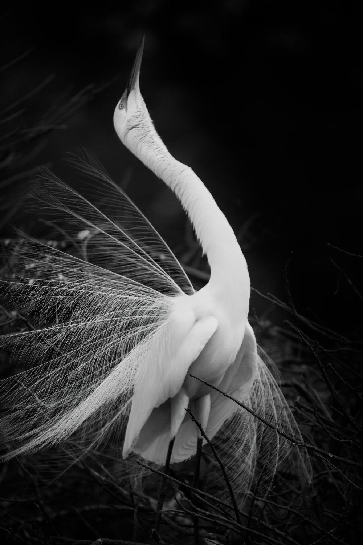 egret-1.jpg