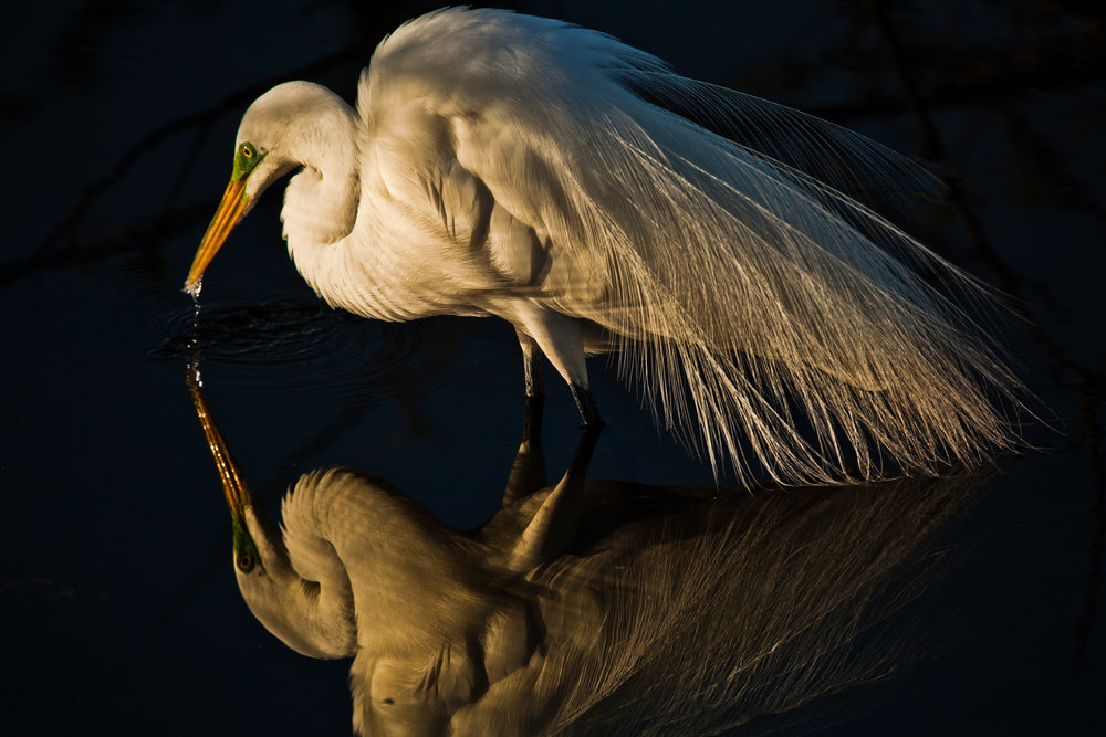 great egret-6.jpg