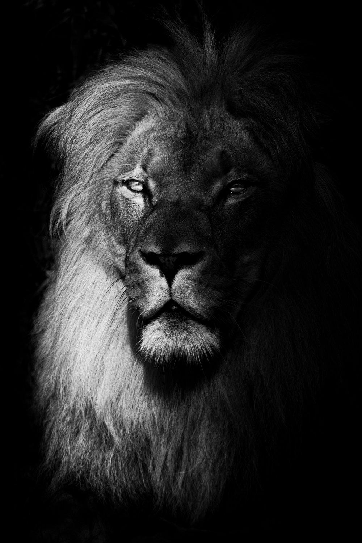 Panthera Leo.jpg
