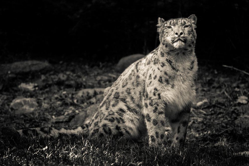 snow leo[ard-1.jpg