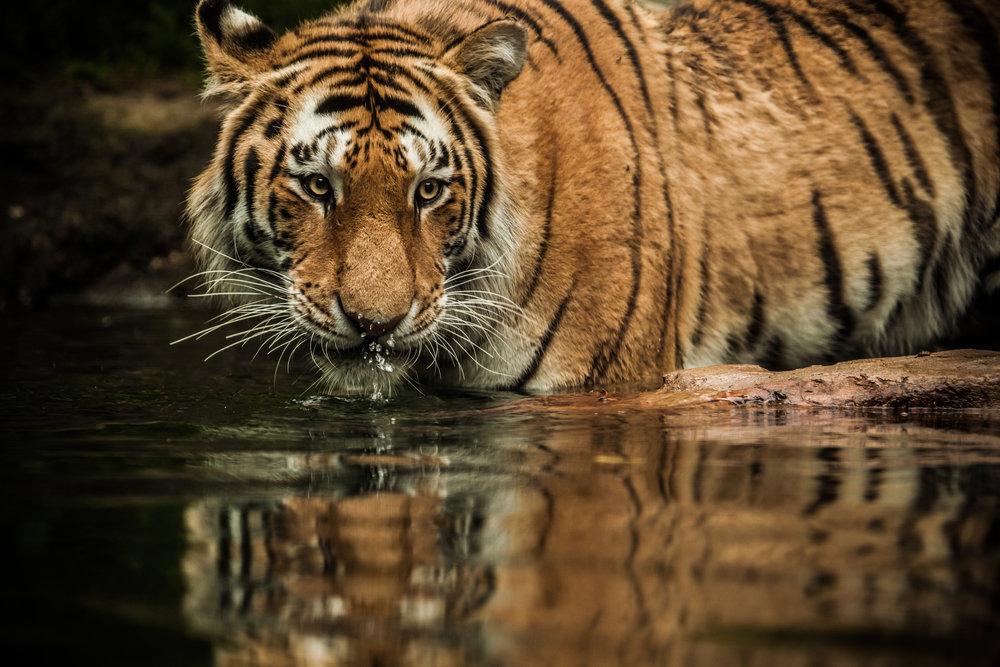 BZ tiger.jpg