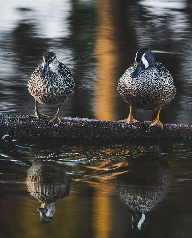 Who would you want to stand on a log with? 😂 Blue-winged teal couple at Green Cay. . . . . #birding #vsconature #letsgosomewhere #floridaexplored #explorida #earthfocus #exploretocreate #awesomeearth #teamcanon #thatflcommunity #rei1440project #lovefl #visitflorida #vscocam #natureflorida #greencaywetlands #wetlands #wildlifephotography #birdphotography
