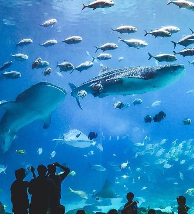 Today is Whale Shark Day so here's a few cool things about these dudes. They filter about 1500 gallons of water an hour as they migrate around 8000 miles only ever swimming about 2.5 mph, and whale sharks usually have 4000 tiny teeth in 300 rows in their 5 foot wide mouth. . . . . . #whaleshark #vscocam #vsconature #exploretocreate #lifeofadventure #rei1440project #wildlifephotography #georgiaaquarium #exploregeorgia #atlanta #roam #visitgeorgia #internationalwhalesharkday