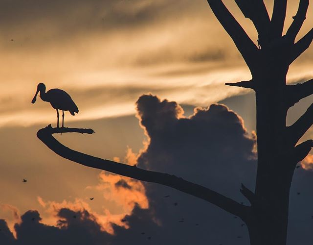 I hope this spoonbill was enjoying the view as much as I was. . . . . #vsconature #lifeofadventure #rei1440project #exploretocreate #vscocam #canon6d #teamcanon #lovefl #explorida #earthfocus #awesomeearth #birding #pureflorida #visitflorida #sunset #southflorida #wetlands #wildlifephotography #roamflorida #roam