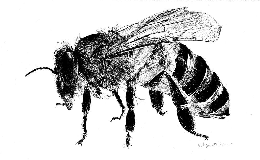 Honeybee, pen and ink, 2016
