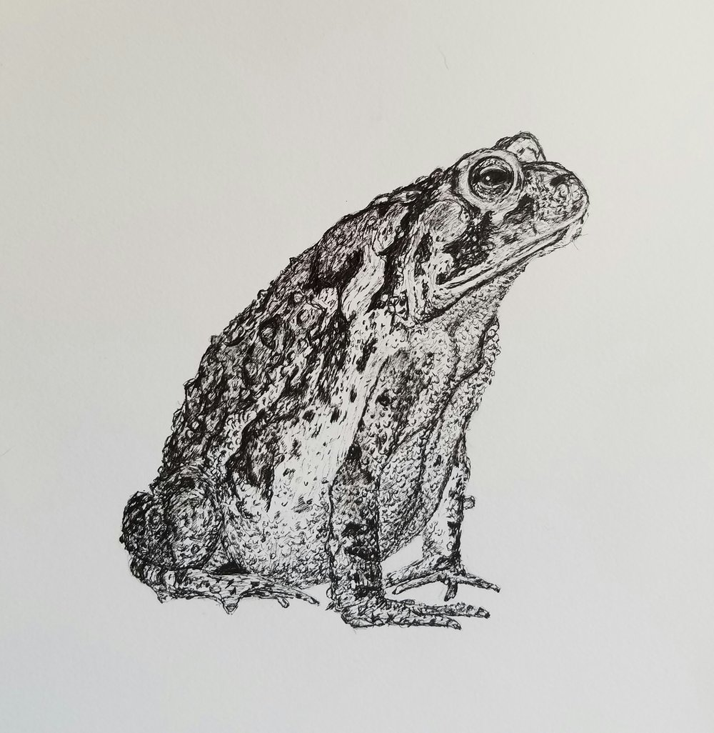 "American toad, pen and ink, 7""x 7"", 2017"
