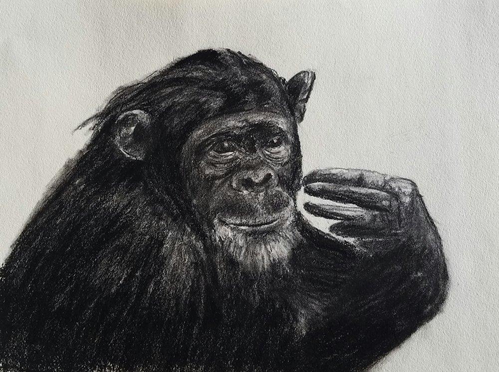 Chimpanzee, charcoal, 2017