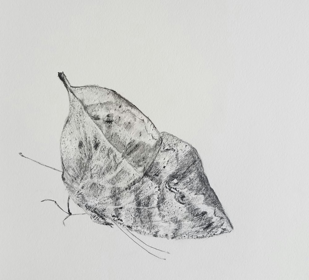 Indian Leaf Butterfly, graphite, 2017