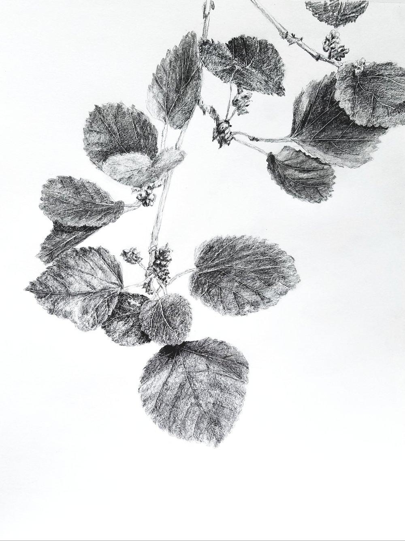 Ripening mulberries; graphite; 2017