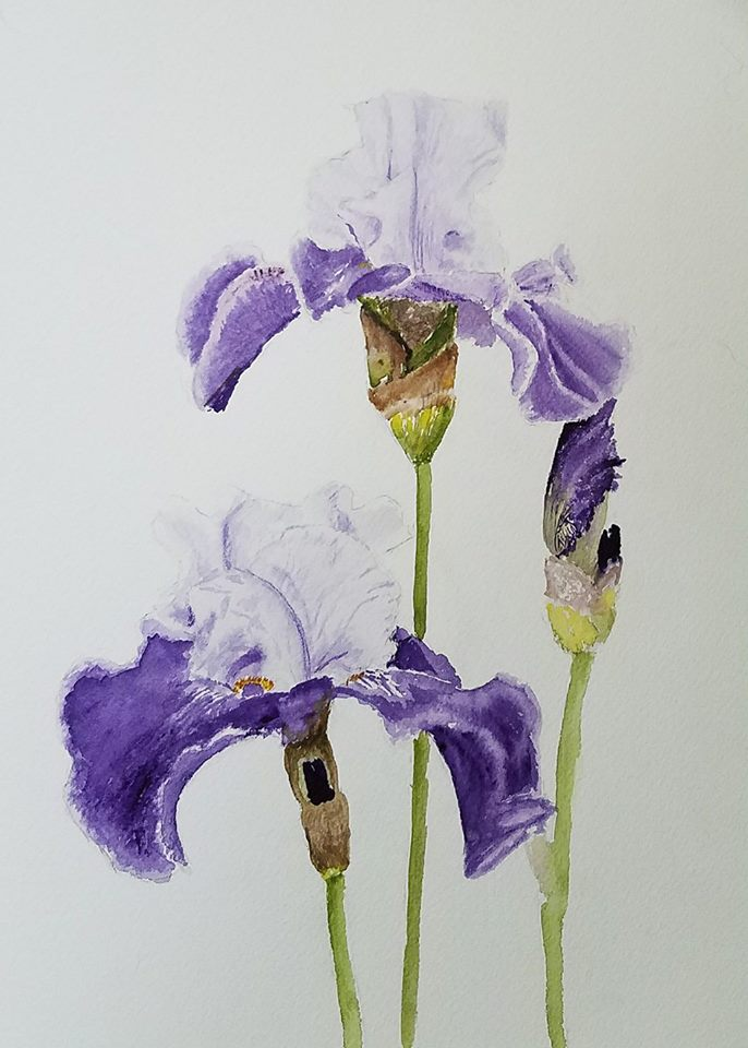 Bearded Iris; watercolor; 2017