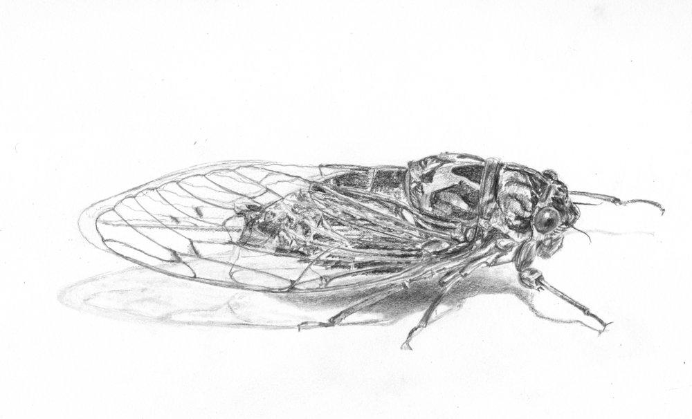 Scissor-grinder Cicada; graphite; 2017