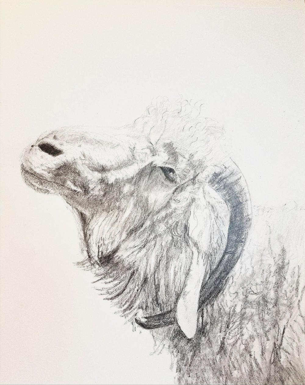 Old Angora goat; graphite; 2017