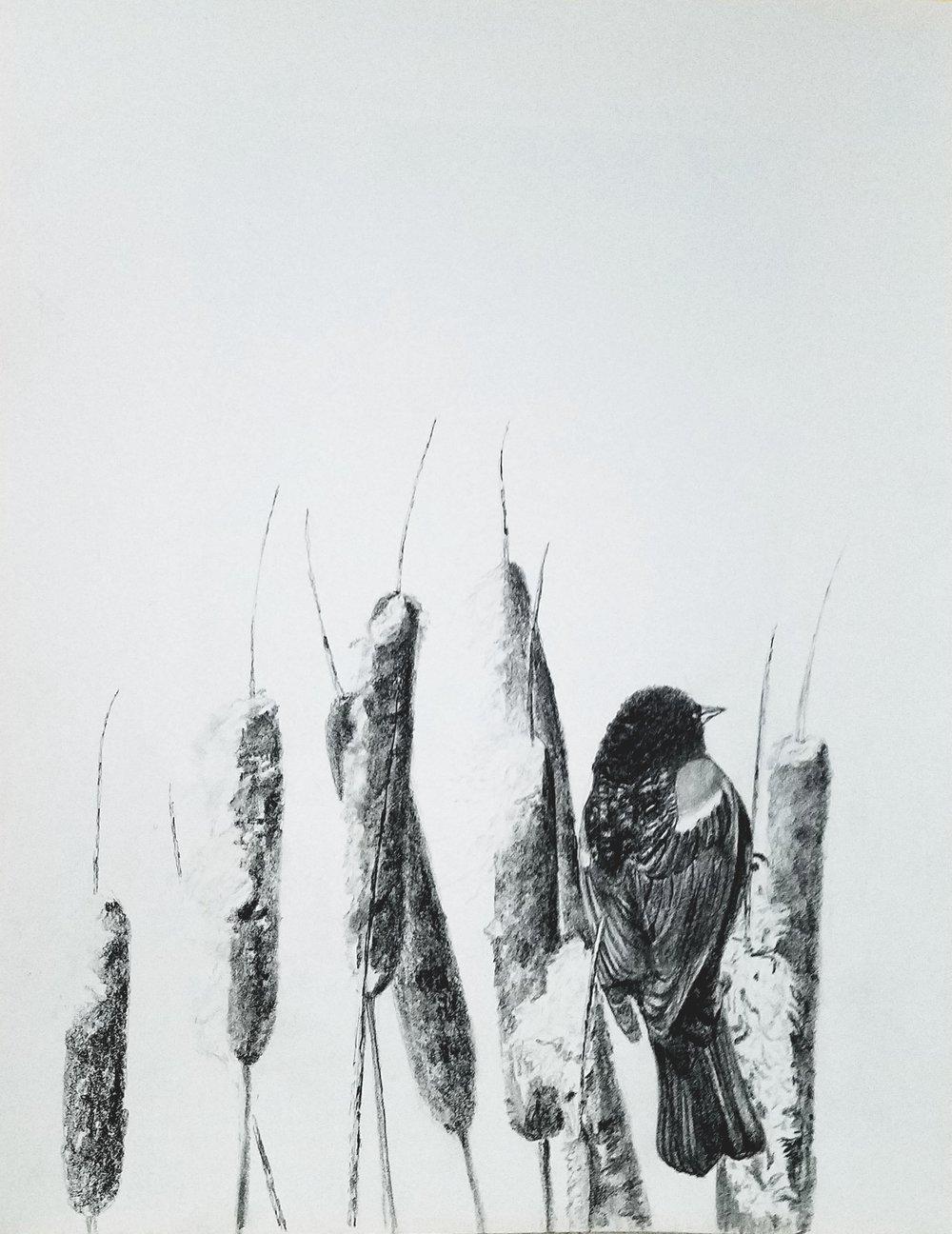 Redwinged Blackbird; graphite; 2017