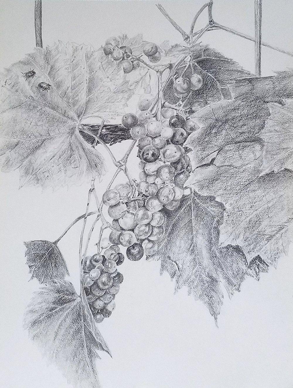 Grapevine; graphite; 2017
