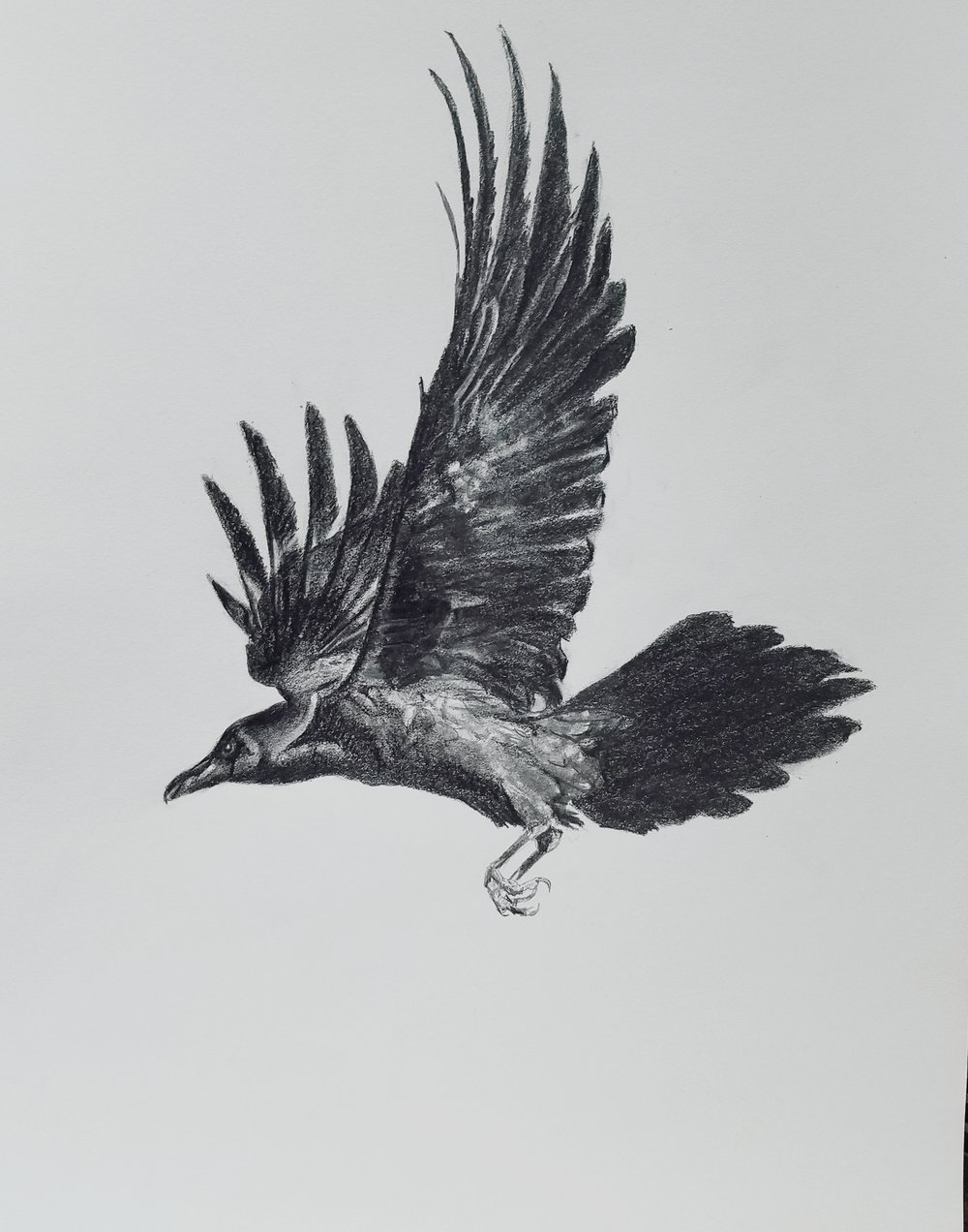 Crow in flight; graphite; 2017
