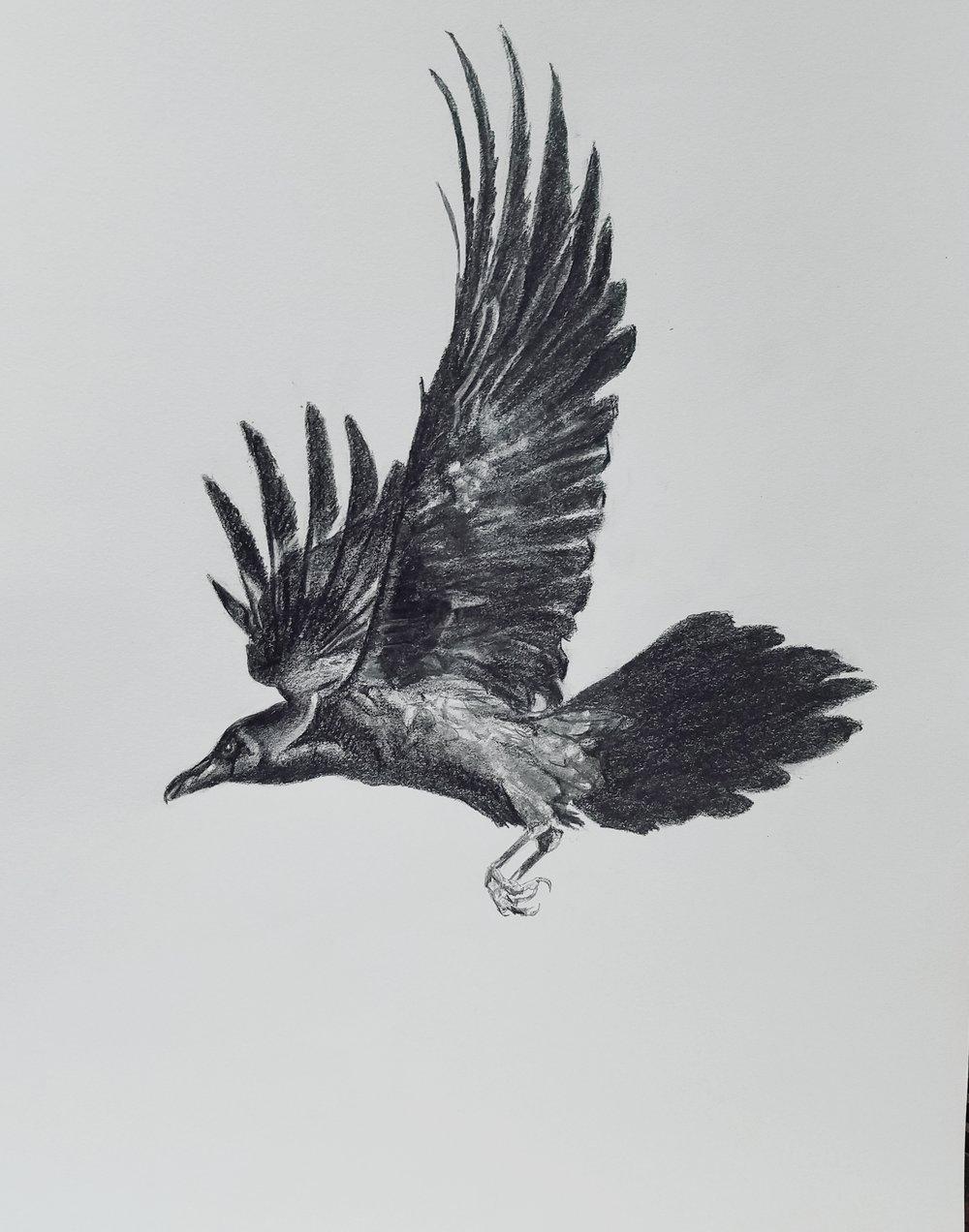 Crow in flight; graphite; 2017