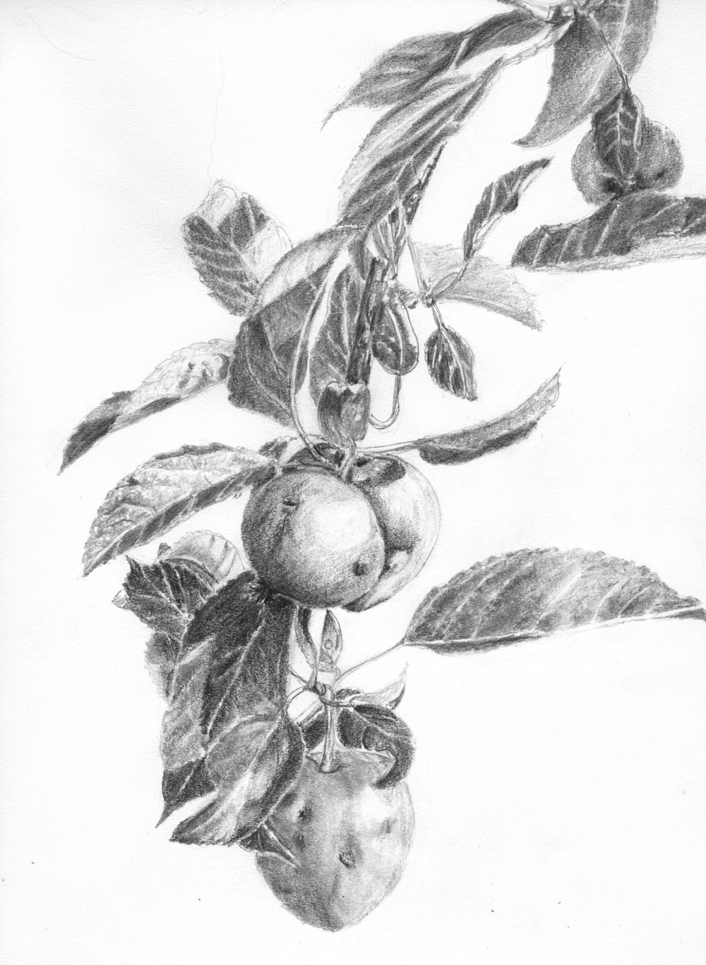 Gnarly apples; graphite; 2017