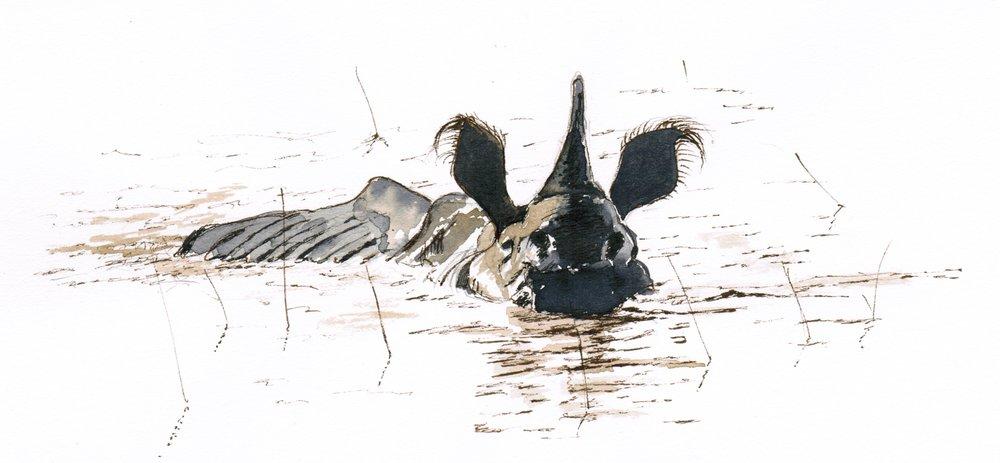 Rhinoceros; black walnut ink; 2017