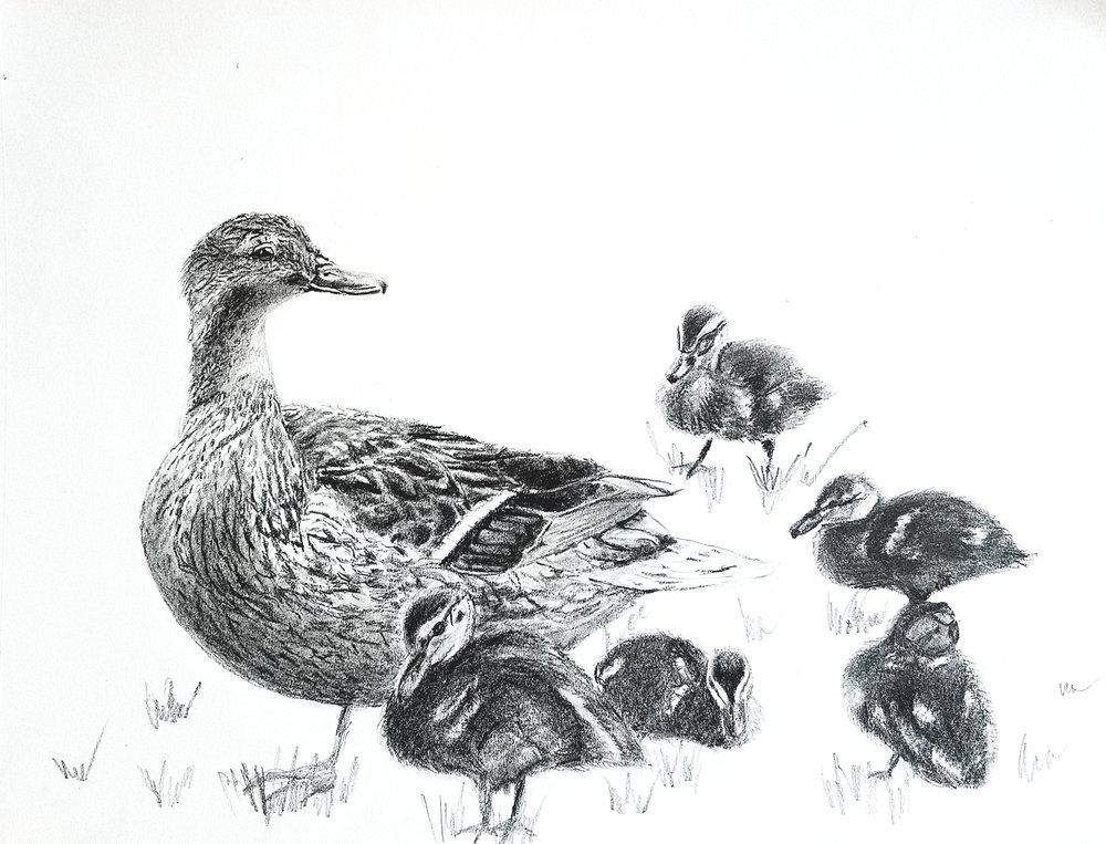 Ducklings; graphite; 2018