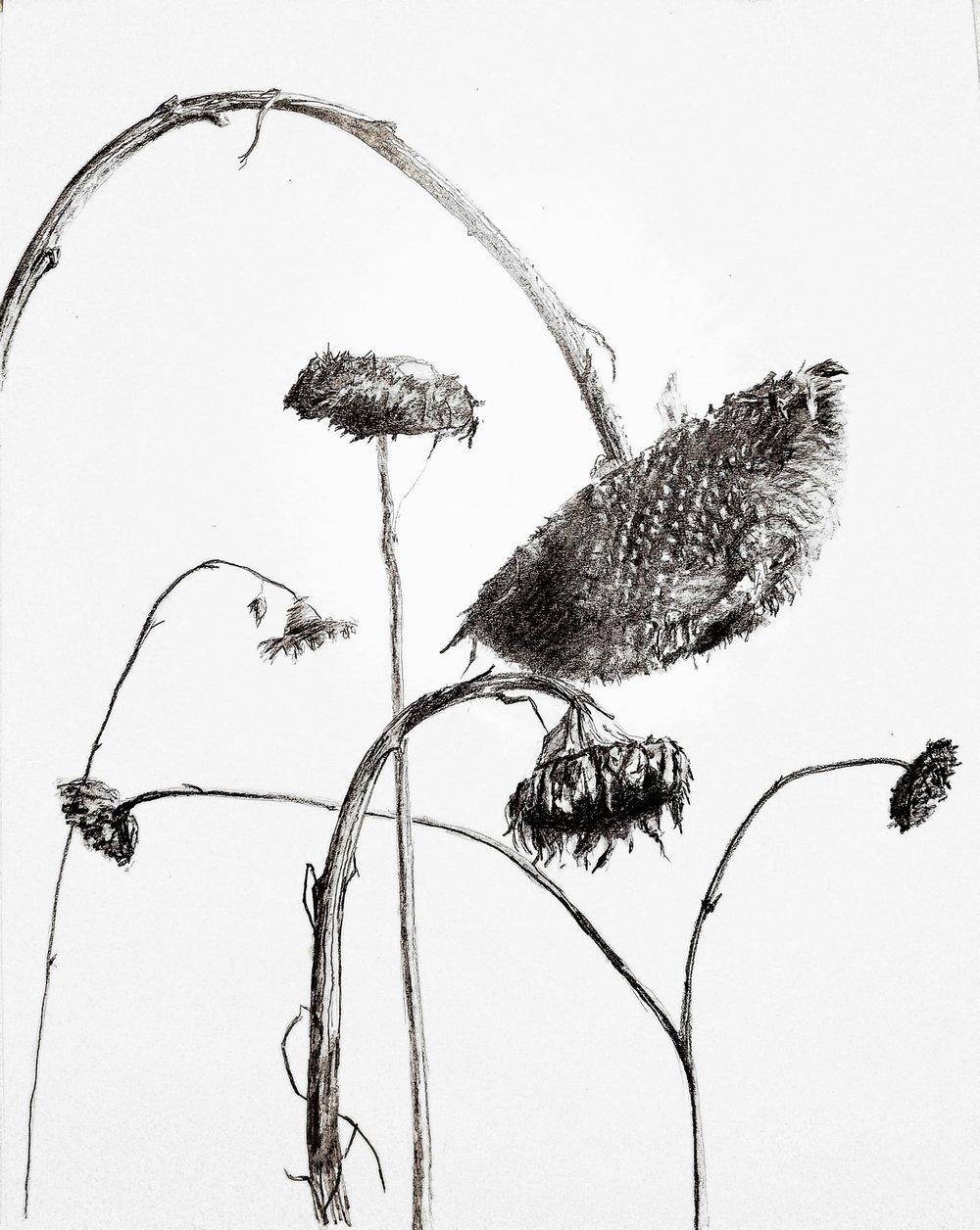 Winter sunflowers; graphite, 11x14; 2018