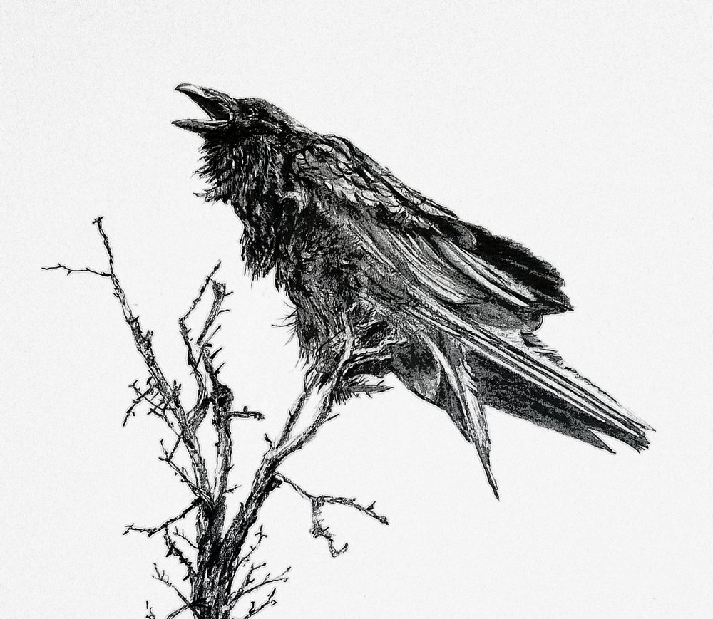 Angry Raven; graphite; 2018