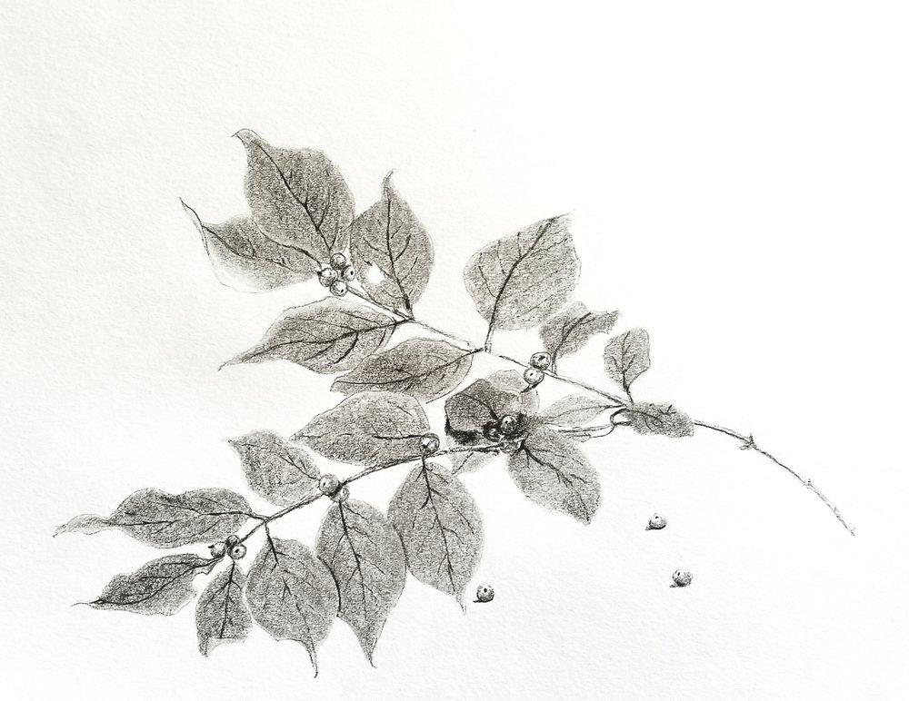 Autumn honeysuckle; graphite; 2018