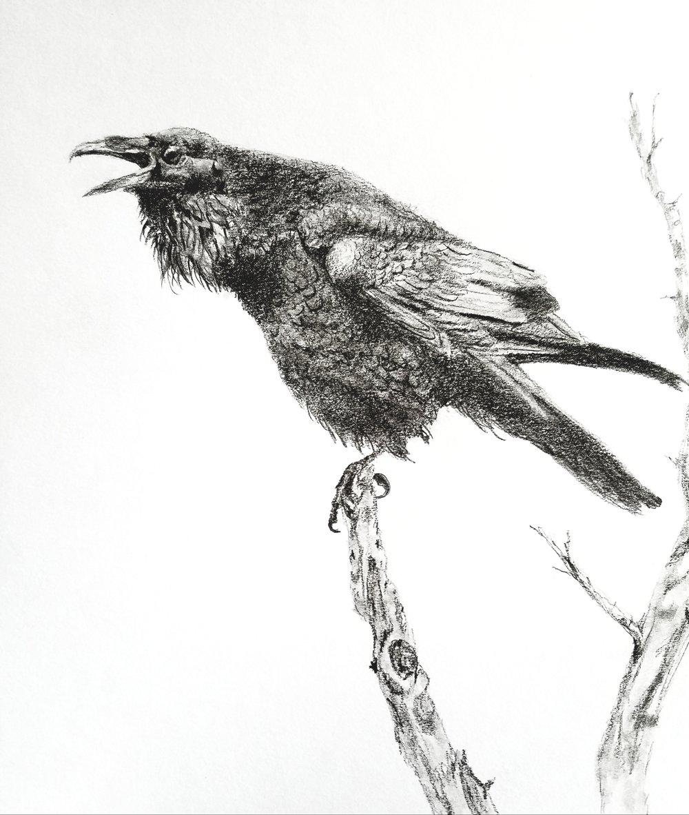 Squawking Raven; graphite; 2018
