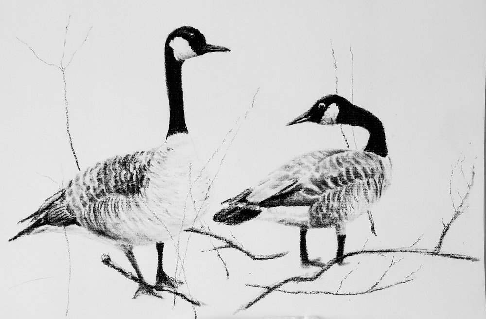 Canada Geese at Shelley Lake, Raleigh, NC; charcoal; 2019