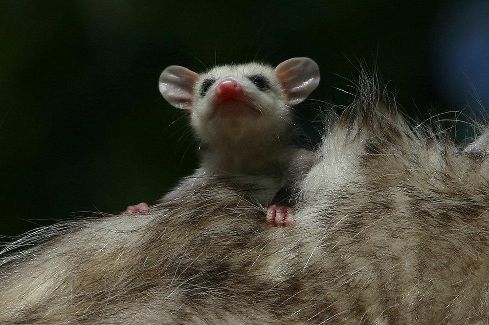 Opossums -
