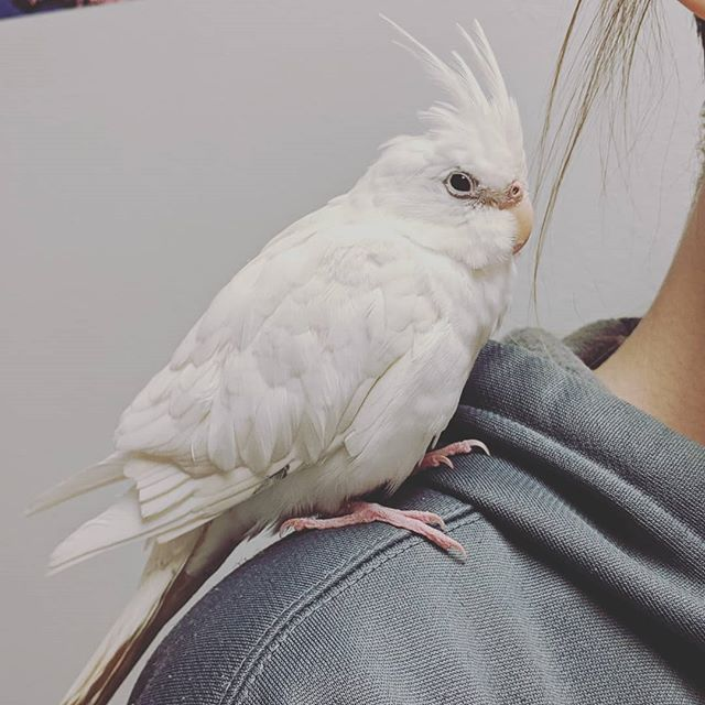 This little lady's family tells us she LOVES phone screens and will make sure to watch any she can get near. She also poses pretty well for pictures, as you can tell. 🐦📸