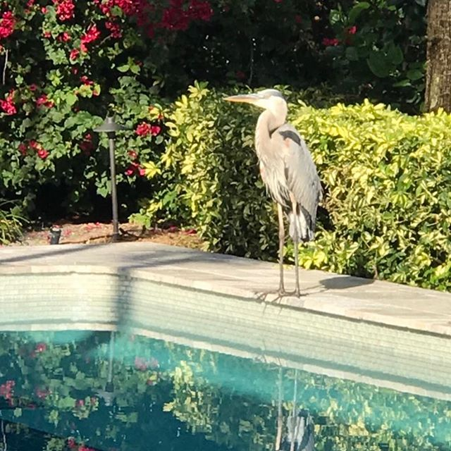 Backyard buddy.  Seems to like my cat. #birdsofprey #birdsofinstagram #bougainvillea #weather😍
