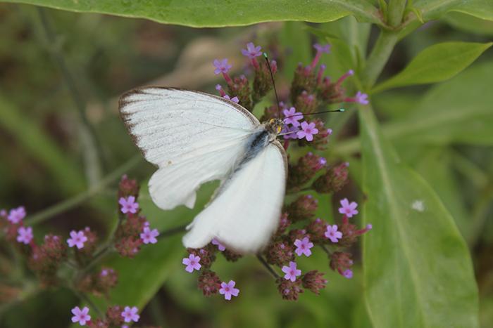 Amymeierdesign_NHM_whitebutterfly