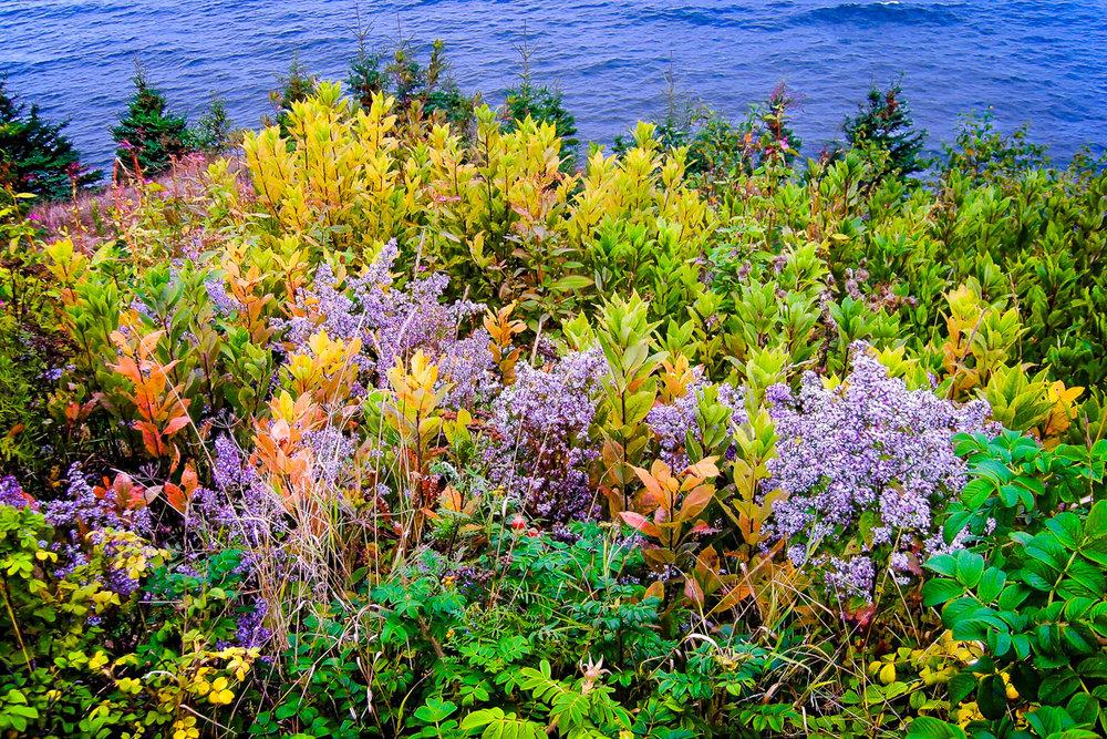 Flowers by the Sea, Owls Head, Maine