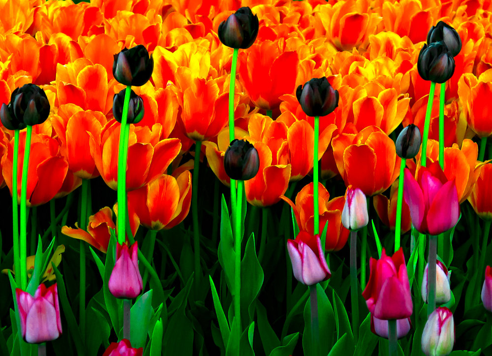 Red and Yellow, and Dark Purple Tulips