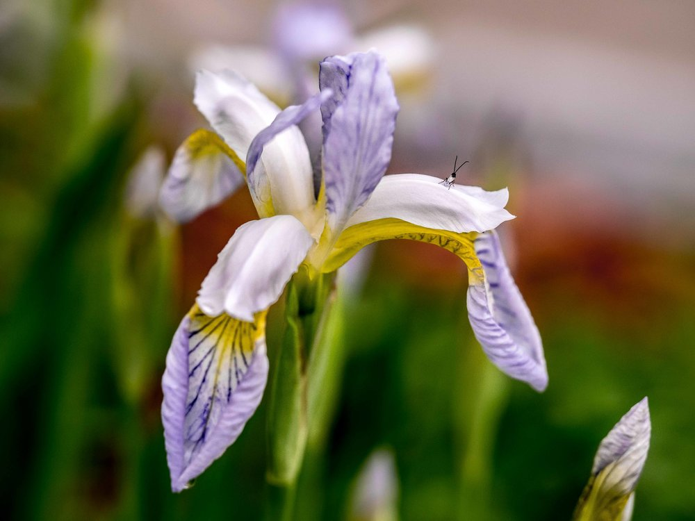 Siberian iris and fly