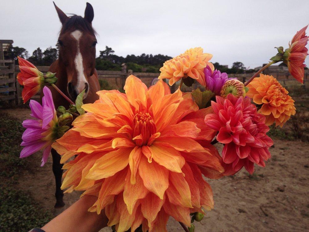 flowerhorse