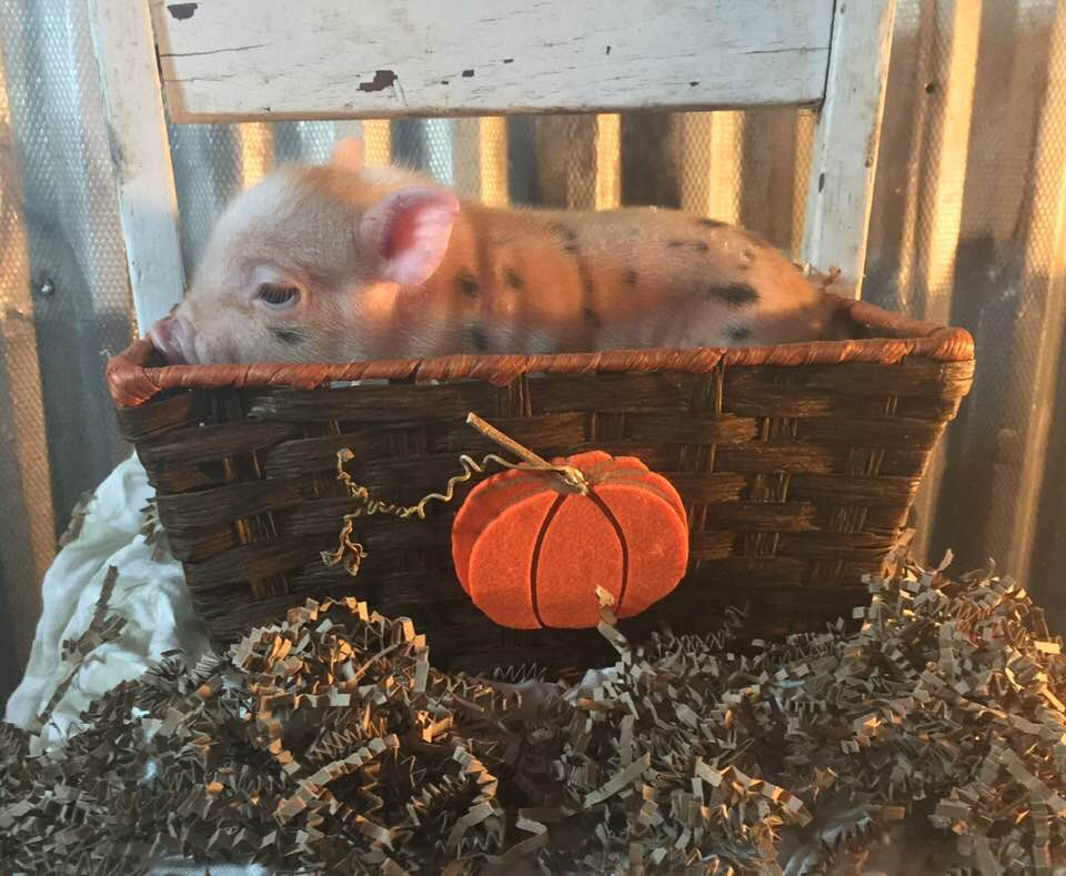 FEMALE # 2 - This unique piggy has black & white spotting, as well as orange stripes! She is $450. -