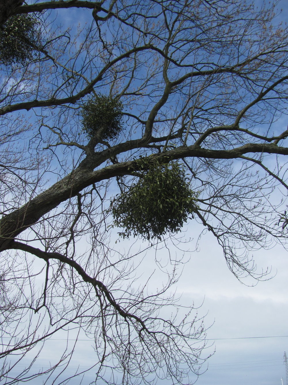 Mistletoe boughs hanging above the Canadian War Cemetery in Dieppe.