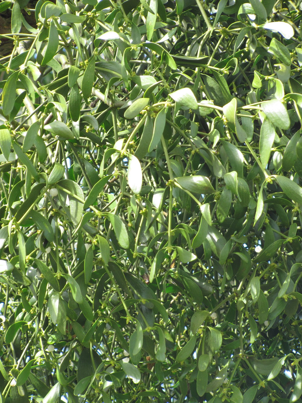 Mistletoe's white berries can be seen in early spring.