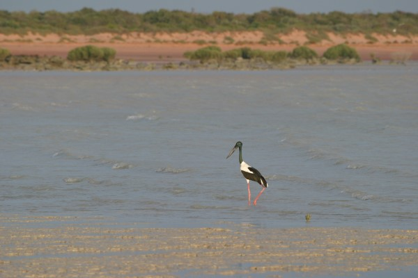 BLACK-NECKED STORK AT SEA