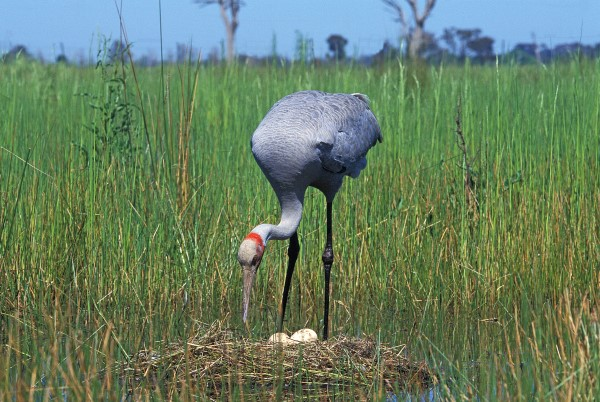 BROLGA SETTLING ONTO NEST