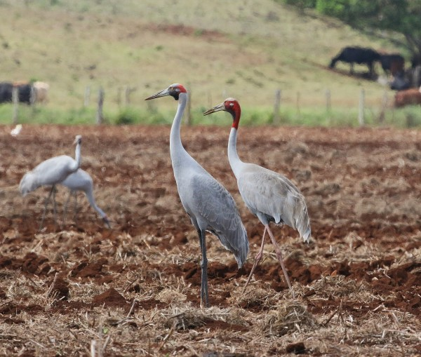 SARUS CRANE AND BROLGA FEEDING TOGETHER. ATHERTON TABLELAND