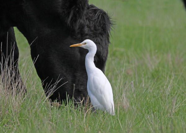 CATTLE EGRET WATCHING AS CATTLE GRAZE