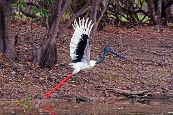 TAKE-OFF. BLACK-NECKED STORK