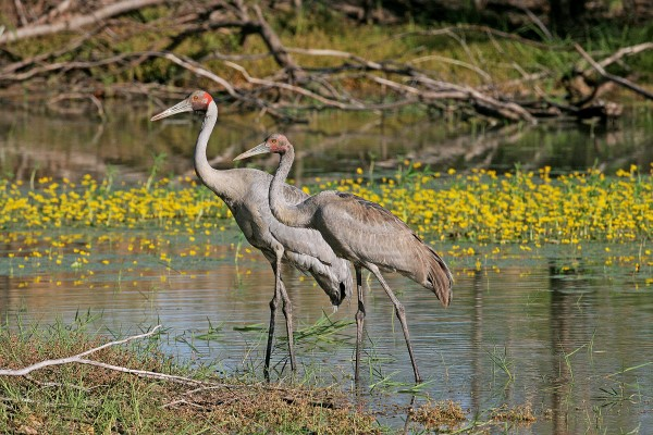 BROLGA. ADULT AND JUVENILE AMONG LILIES