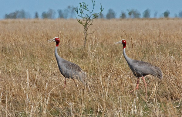 PAIR OF SARUS CRANES. GULF OF CARPENTARIA