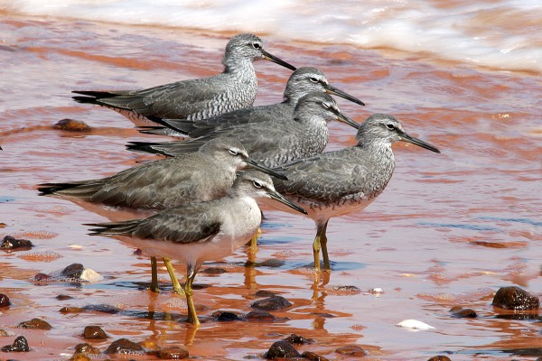 GREY-TAILED TATTLERS