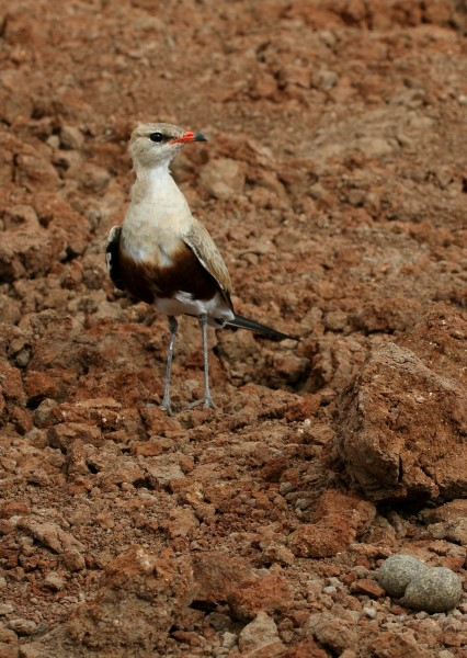 AUSTRALIAN PRATINCOLE AT NEST