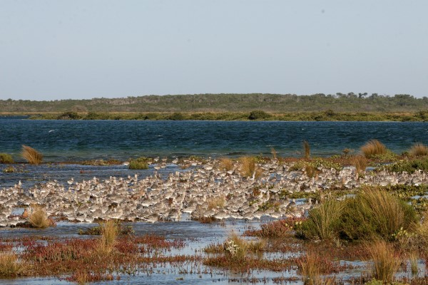 BAR-TAILED GODWITS AT REST